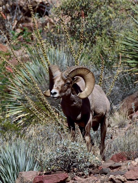 Sheep, Rocky Mtn Bighorn. Arizona. #412.3243.