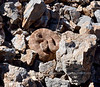 A Mohave Rattlesnake 2020.5.5#1460.3. North Shore of Lake Mead,Nevada.