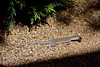 Desert Grassland Whiptail Lizard 2018.6.4#153. Aspidoscelis uniparens. Prescott Valley Yavapai County Arizona.