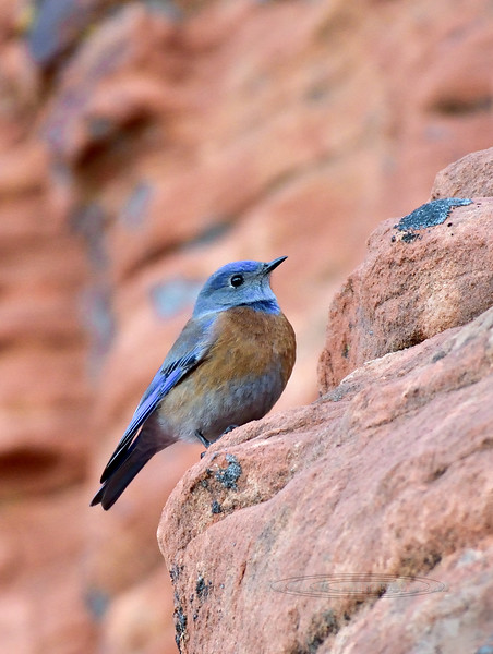 Western Bluebird 2019.1.17#768. Lake Mead Nevada.