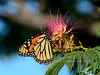 The Monarch Butterfly 2017.7.26#037. Danaus plexippus. Feeding on a Silk Tree Blossum. Prescott Valley Arizona.