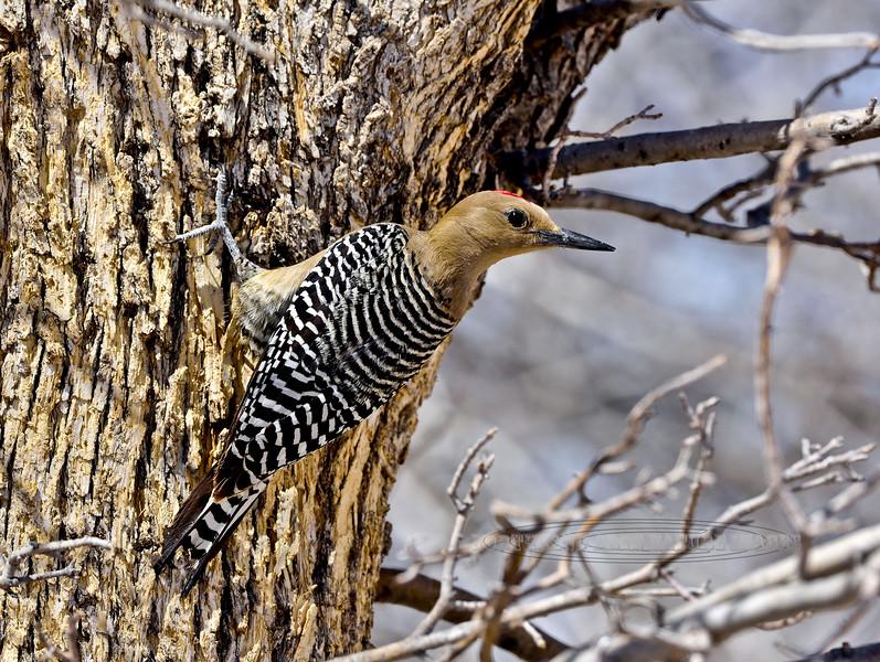 Gila Woodpecker 2018.3.20#597. A Gila male. San Pedro House, Arizona.