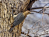 Gila Woodpecker 2018.3.20#597. A Gila male. San Pedro House, Arizona.