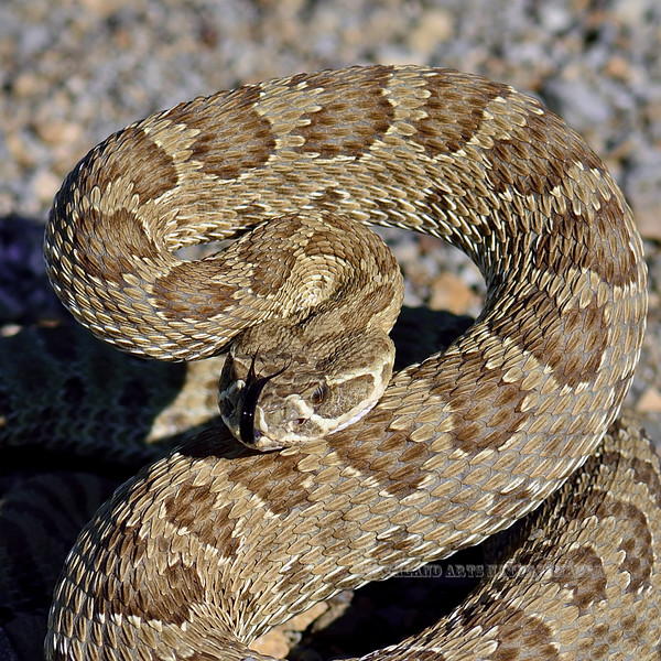 Prairie Rattlesnake 2018.7.6#4769. Eastern Wyoming.