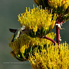 AZ-Hummingbird working on a Parry's Agave. Prescott Nat. Forest, Yavapai Co,AZ. 611.747.