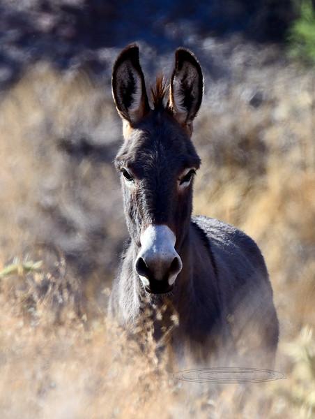 Burro, Wild. Maricopa County, Arizona. #1122.614.
