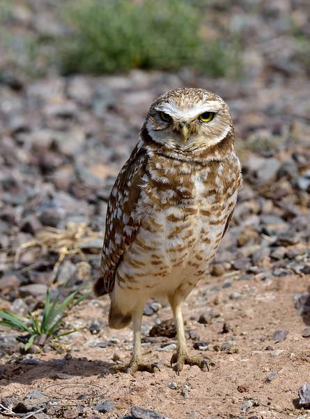 Burrowing Owl 2019.4.1#233. Gilbert Arizona.