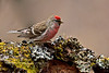 Redpoll, Common. South Central, Alaska. #57.167. 2x3 ratio format.