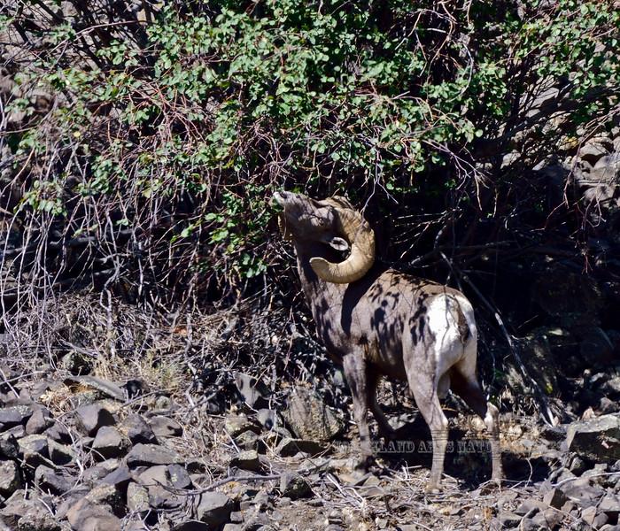 California Bighorn Ram, Ovis canadensis californiana 2021.6.18-Colockum Mountain's Washington.
