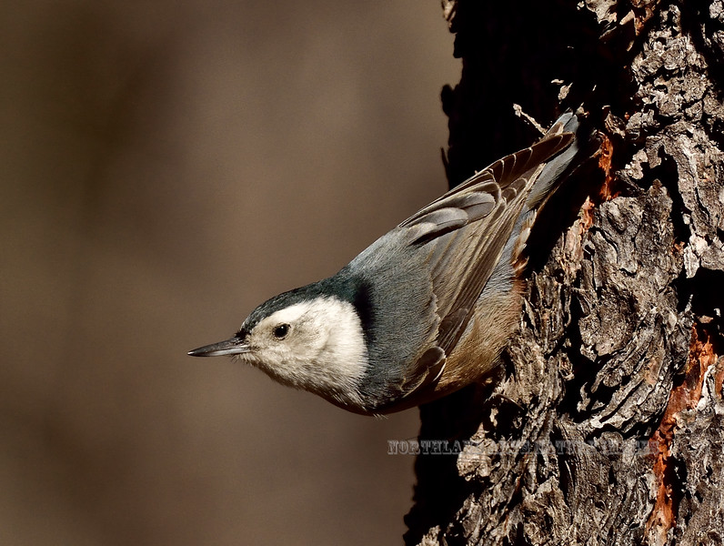 Nuthatch, White-breasted, western phase. Kaibab Forest, Coconino County, Arizona. #1128.234.