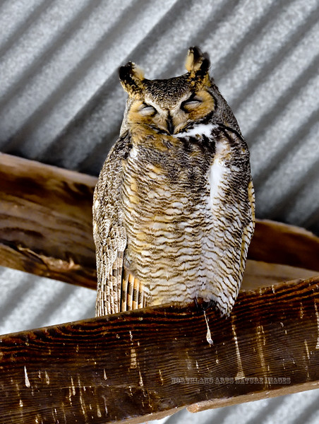 Great Horned Owl 2018.3.20#107. White Water Draw, Arizona.