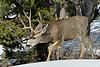 Deer, Mule 2019.2.27#056. Kaibab Forest Arizona.