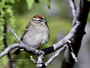 Clay-colored Sparrow 2018.4.29#149. Mingus Mountain, Yavapai County Arizona.