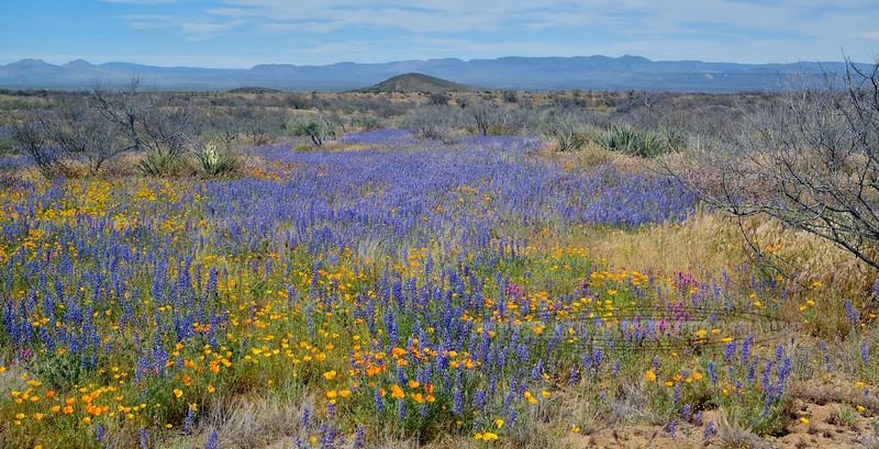 AZ-Desertscape showing Lupine, Poppy and a bit of Purple Owl's Clover. 2019.4.9#115. San Carlos Apache Reservation, Gila County Arizona.