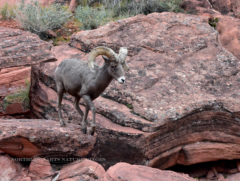 Desert Bighorn ram 2018.12.6#221. Lake Mead Nevada.
