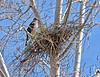 Cooper's Hawk 2021.3.29#0295.3X. Prescott Valley, Arizona.