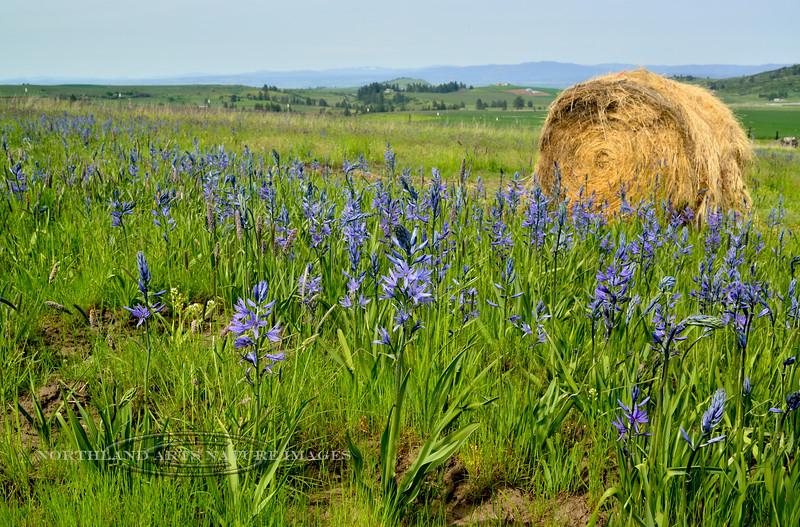 Camas Lilly. 2014.5.15#020.3X. Camas Prairie Idaho.