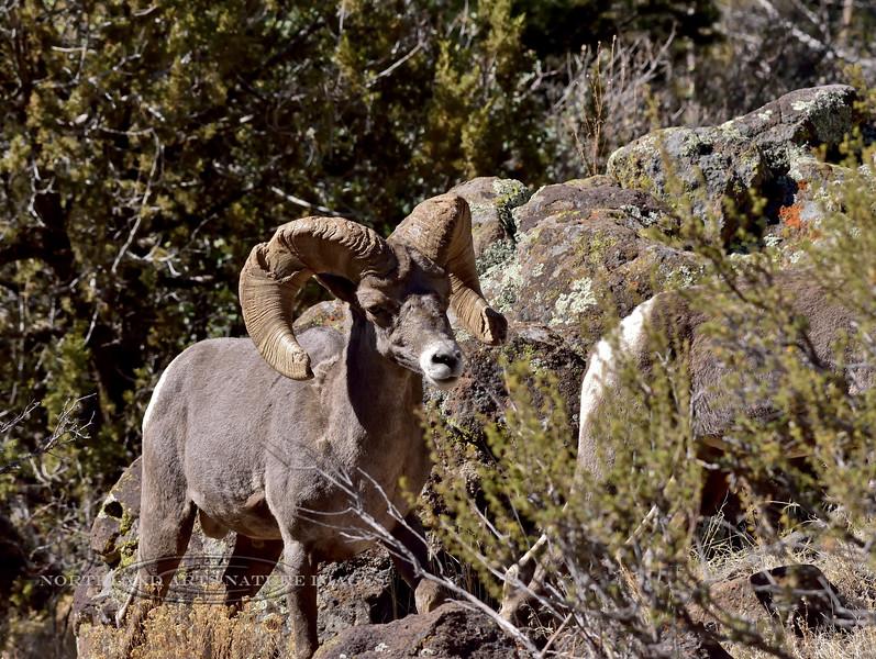 Rocky Mountain Bighorn ram 2018.6.12#537. Arizona.