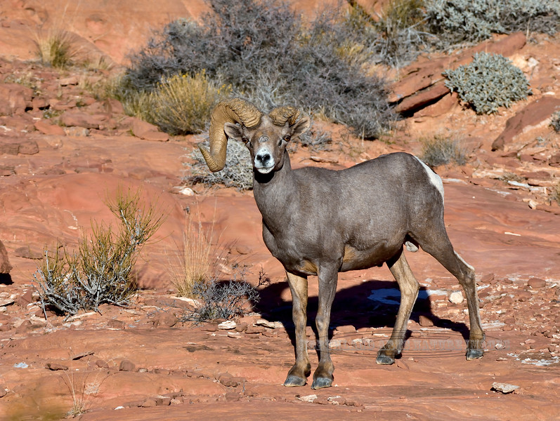 Desert Bighorn ram 2018.12.12#069. One of my favorite photo rams of all time Lake Mead Nevada.