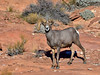 Desert Bighorn ram 2018.12.12#069. One of my favorite ram's of all time. Lake Mead Nevada.