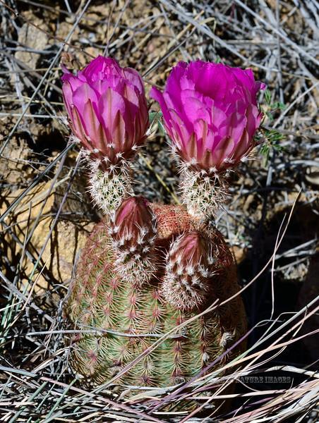 Arizona Rainbow Cactus. 2019.5.27#020. Echinocereus rigidissimus var. arizonica. Santa Rita Mountains, Arizona.