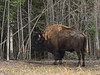 B-2017.5.16#827-Bison, Wood. A large bull rubbing trees while moulting along the Alaska Highway.