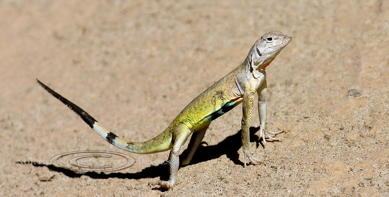Lizard, Callisaurus draconoides, The Zebra-tailed species. Hassayampa River,Arizona. #88.219.