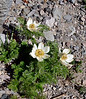 Western Pasque Flowers 2021.6.19#8382.3. Blooming on the rim of Crater Lake Oregon.