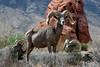 SBHD-2021.9.29#4671.3X. A nice group of Desert Bighorn rams. Photo by Tina J.