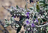Desert Lavender 2020.4.21#8046.3. Hyptis emoryi. In the Newberry Mountains of Nevada.