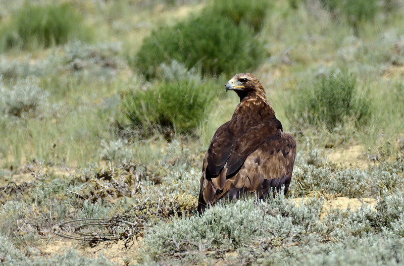 Golden Eagle. 2019.6.21#982. Walking around out in the sage. North of Rock Springs Wyoming.