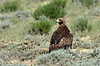 Golden Eagle 2019.6.21#982. Walking around out in the sage. North of Rock Springs Wyoming.