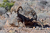 """Desert Bighorn ram 2019.1.18#502. Don't know the """"why"""" but this ram spent a couple of minutes rubbing this boulder. Photo by my  buddy Rick Ullery."""
