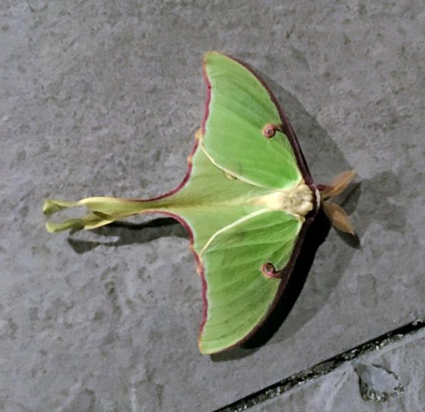2020.5.4#0639.3. Always a treat to find a beautiful Luna Moth. Bucks County Pennsylvania. Photo by Tina J.