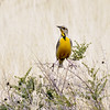 "Eastern Meadowlark 2018.3.19#018. An eastern ""Lillian's"". The Manch Ranch, near Hereford Arizona."