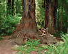 2021.6.21#8716.3. A Coastal Redwood displaying a really unusual gnarly basal buttress. In the Stout Grove of Jedediah Smith Redwood State Park, California.