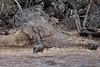 Javelina 2019.1.16#081. Yavapai County Arizona.