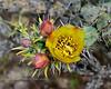 A Buckhorn Cholla blossom. 2020.3.31#6854.2. Cylindropuntia acanthocarpa near Lake Pleasant Arizona.