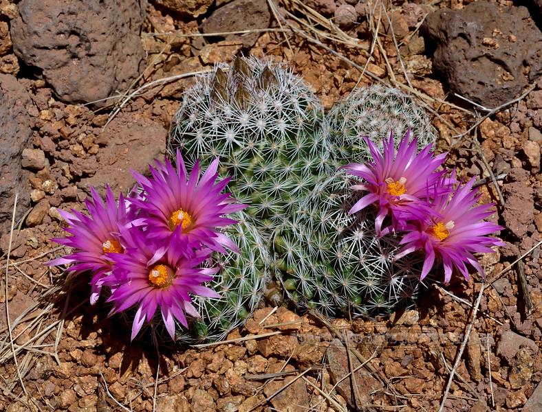 A group of Beehive cactus blossoms 2020.5.26#0265.3. Escobaria vivipara. Yavapai County Arizona.