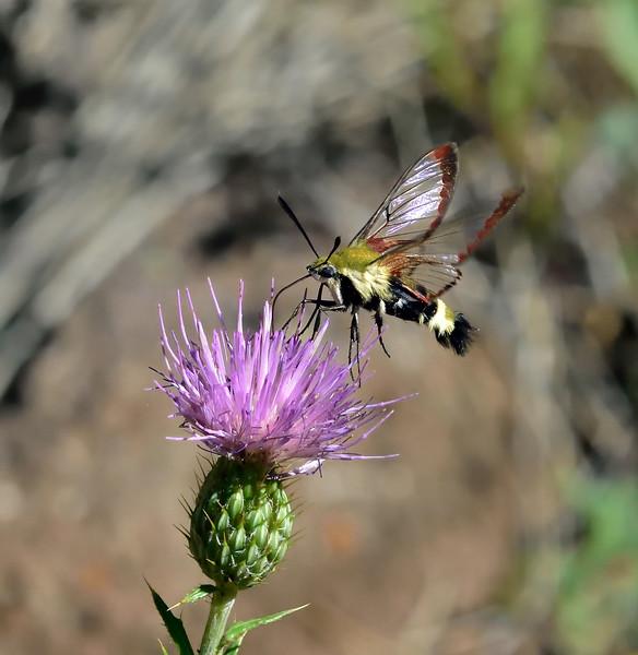 A Hummingbird Clearwing moth 2020.8.7#3082.2. Hemaris diffinis nectering on a Wheeler's Thistle. Mingus Mountain Arizona.