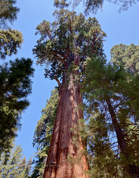 2021.6.21#0976.4. Looking into the top of the General Sherman Giant Sequoia, the largest tree on Earth. In the Congress Grove of Sequoia National Park in the Sierra Nevada Mountains of California.