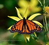 The Monarch Butterfly 2020.9.19#5364.2. Danaus plexippus. Cape May Point, New Jersey.