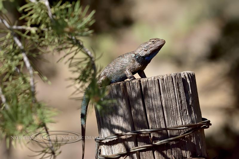 Clark's Spiny Lizard 2018.6.12#378. Sceloporus clarki. Coconino County Arizona.