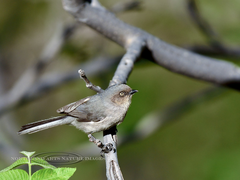 Bushtit 2018.4.27#025. A minimus coastal variation with a yellow eye. Mingus mountain, Yavapai County Arizona.