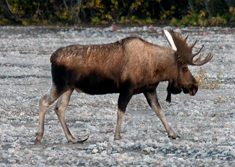 2010.9.3#036. The copper toe bull showing his left rear hoof. Ten Mile, Denali Park Alaska.