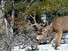 Deer, Mule 2019.2.27#015. Kaibab Forest Arizona.