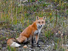 Fox, Red. Muncho Lake, Alaska Highway, Rocky Mountains. #96.1183.
