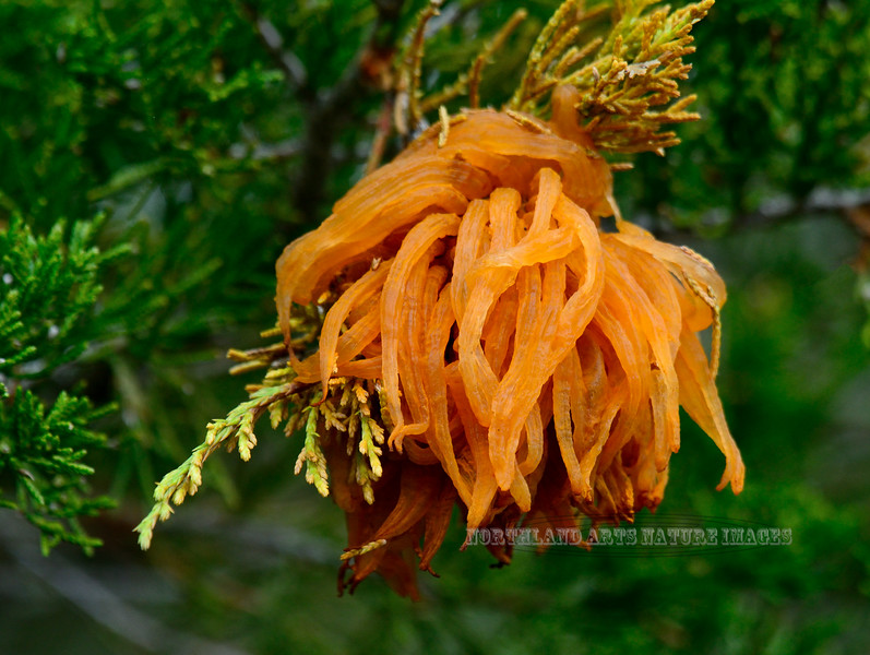 Gymnosporangium juniper-virginianae, commonly called Cedar Apple Rust. Bucks County, Pennsylvania. #55.021. 3x4 ratio format.
