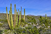Organ Pipe Cactus 2019.3.5#103. Organ Pipe Cactus Nat. Monument, Arizona.