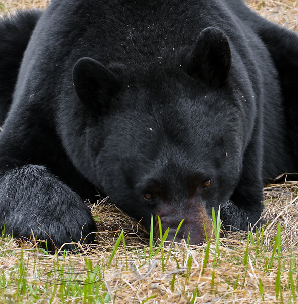 2017.5.16#1115.7crp. This black Bear's size is what impressed me first, but I would soon be totally puzzled by his behavior. I thought he was grazing on the new spring grass as most bears are occupied with at this time. But then I realized as he kept flopping on the ground he was capturing mice or voles and literally holding them down and chewing them out of the ground. In the last high pass east of Stone Mountain Park before dropping into the Muskwa country in northern British Columbia Canada.